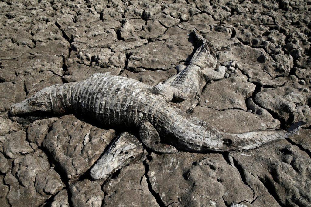 Caimanes en corrientes secas del Pilcomayo